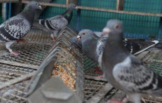 Totul despre cresterea porumbeilor si lucrurile ce stimuleaza acest lucru